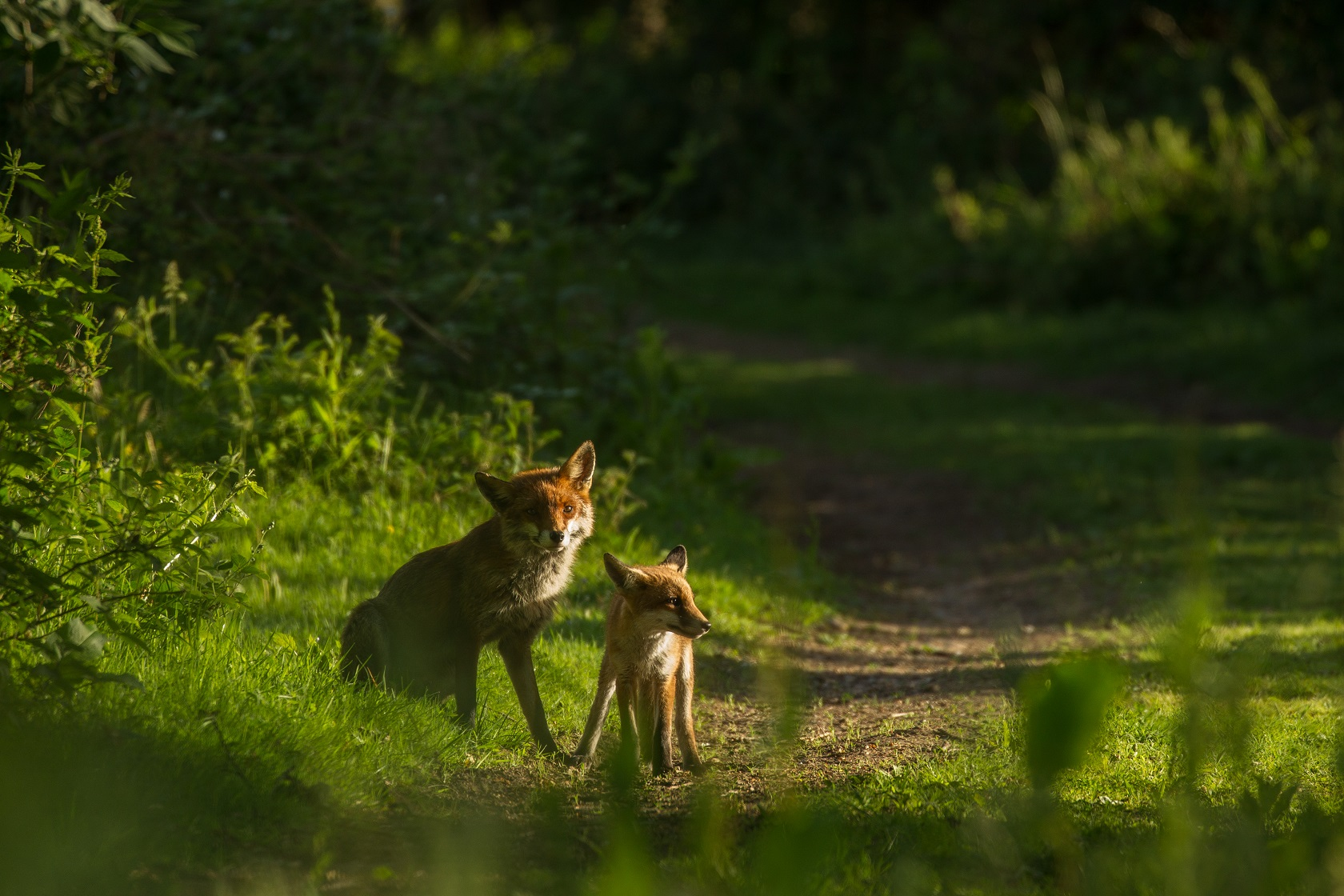 Mother and baby fox1